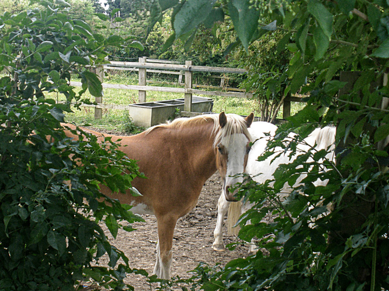 Beanie - a little 11.2hh Welsh pony - white and chestnut